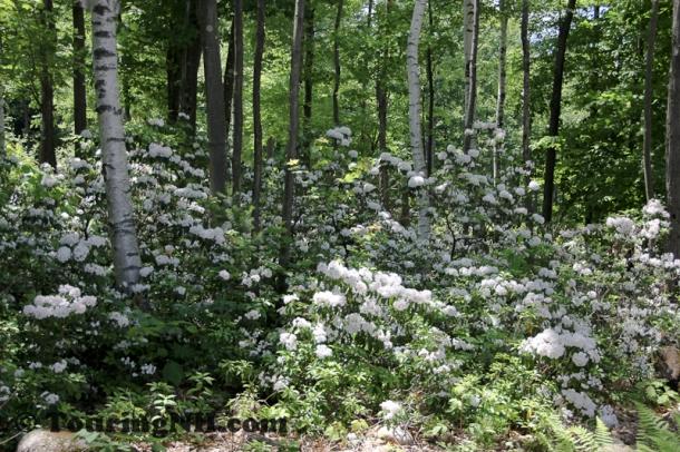 June21 Wilton Mountain Laurel-028