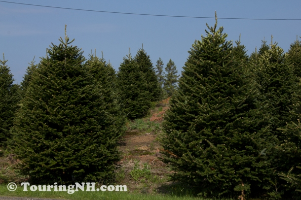 """Mature trees in the """"cut you own"""" area"""