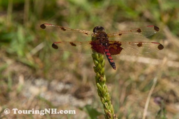 I saw an amazing variety of dragonflies