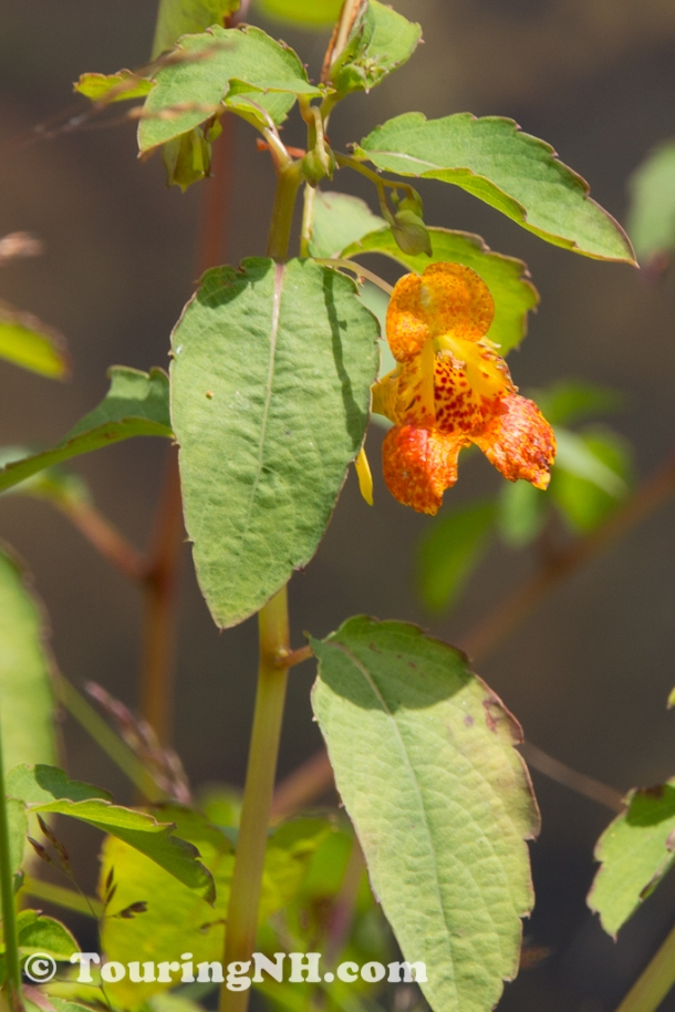Spotted Jewel Weed