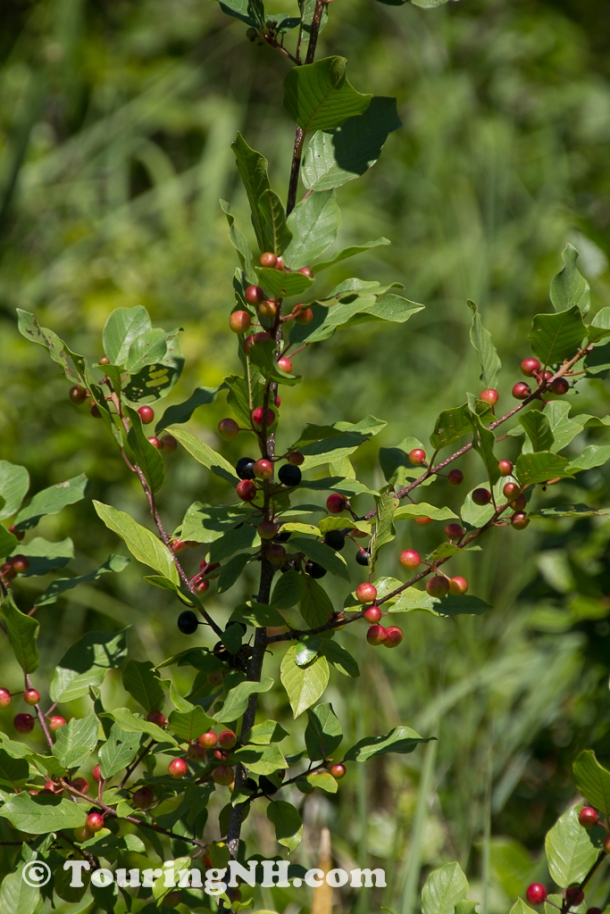 Glossy Buckthorn which is very invasive