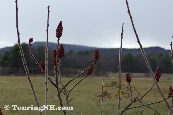 All that's left of the Sumac trees, winter is on its way