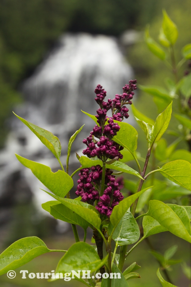 Colebrook - Lilacs in front of the falls.