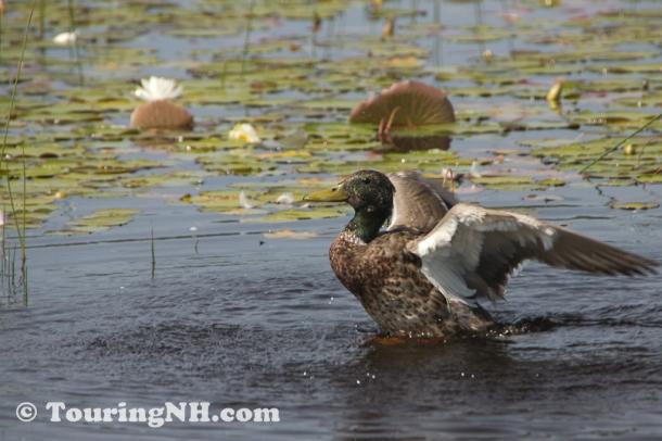 2011June Rye Beach Water Fowl-2632