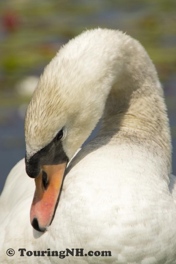 2011June Rye Beach Water Fowl-2635
