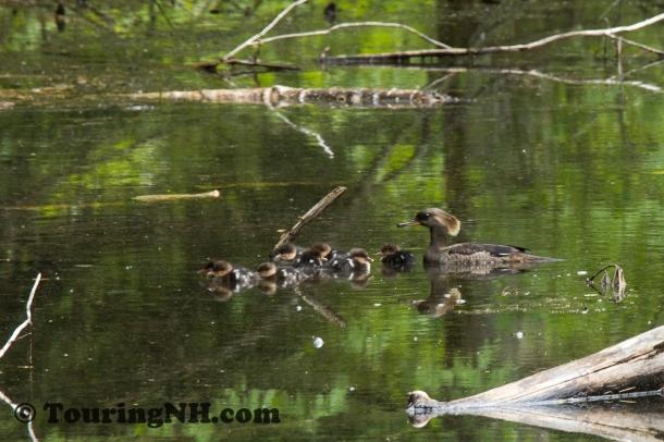 Common Merganser and chicks