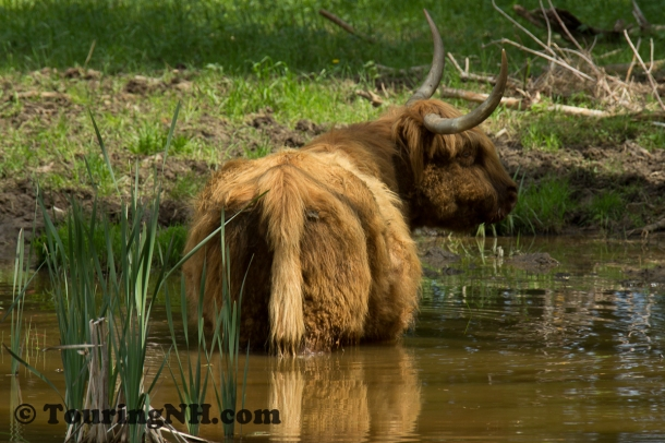 This highland cow was enjoying the coolness of the pond