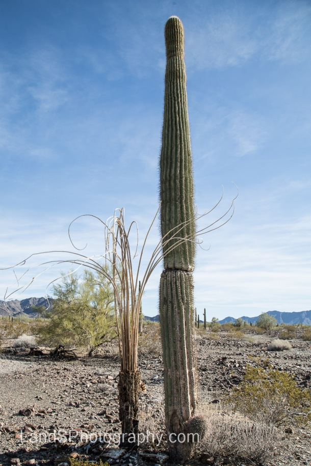 A Saguaro cactus next to the skeleton of another one.