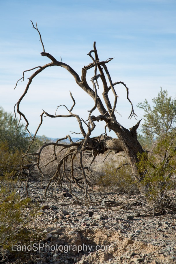 There are plenty of trees and bushes that didn't survive the conditions in the desert