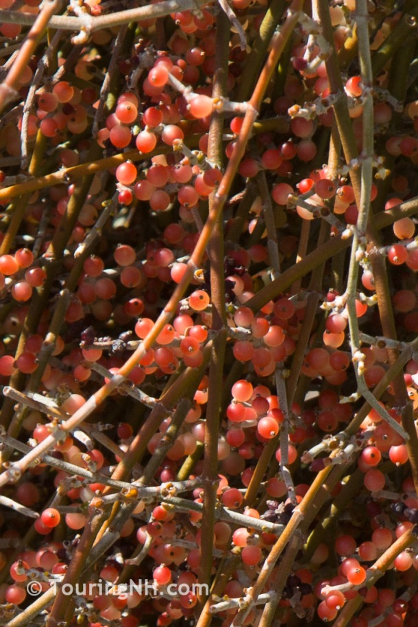 I never knew mistletoe was a parasite plant