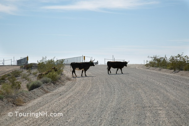 We didn't see any free range cattle where the signs were, but we did finally see some on our way back from the ghost town