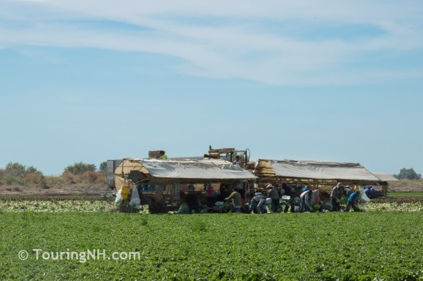 Migrant farm workers harvesting the crops