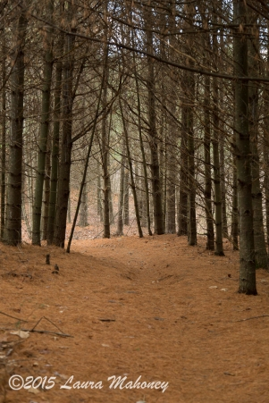 A pine straw path